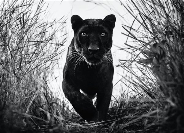 Black Panther by David Yarrow